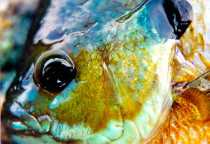 Blue Gill Reference Photos