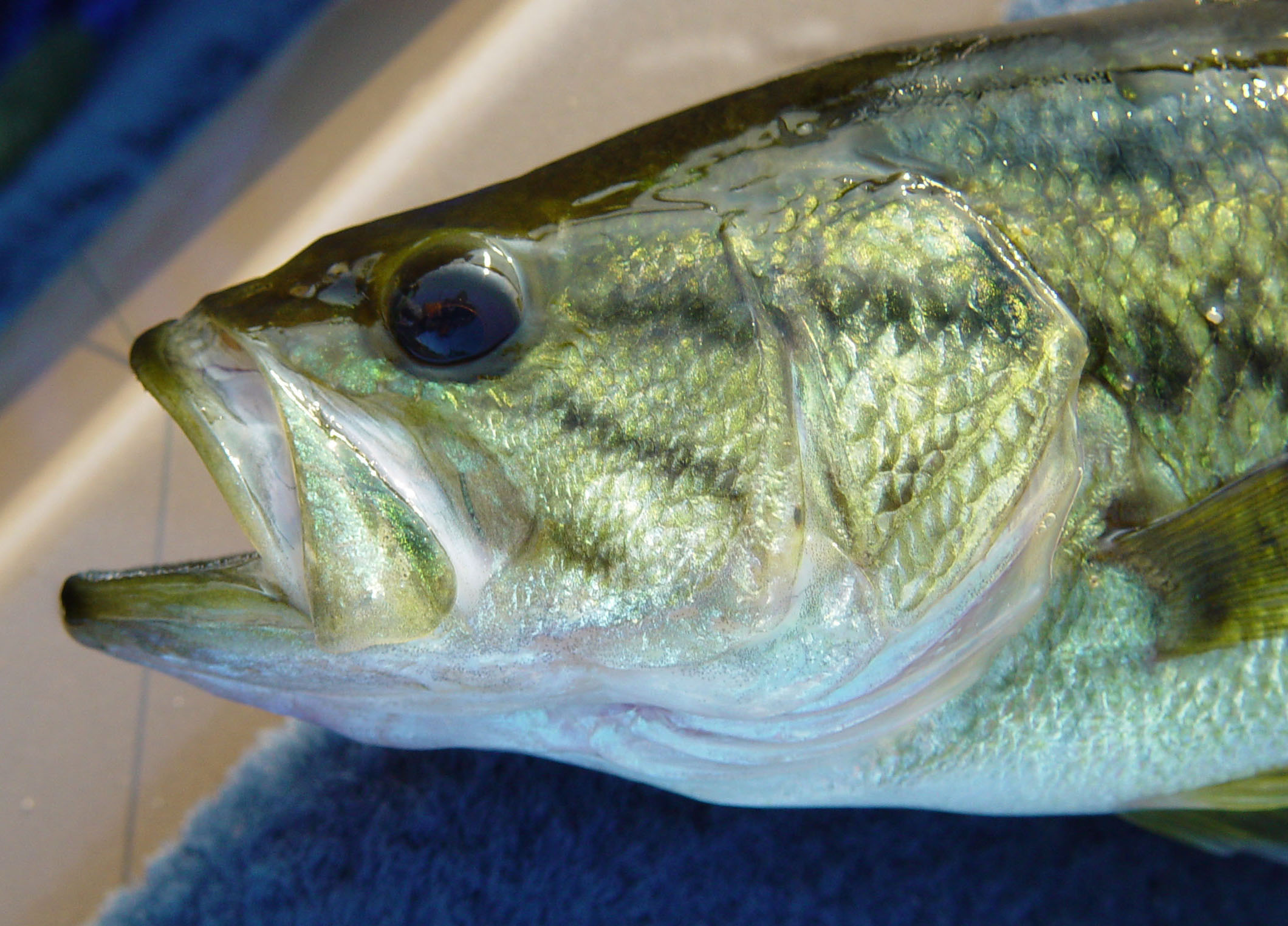 Largemouth Bass - Digital Reference Photos Volume