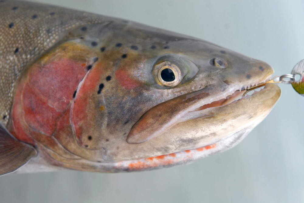 Lahontan Cutthroat Trout - Digital Reference Photos Volume 1