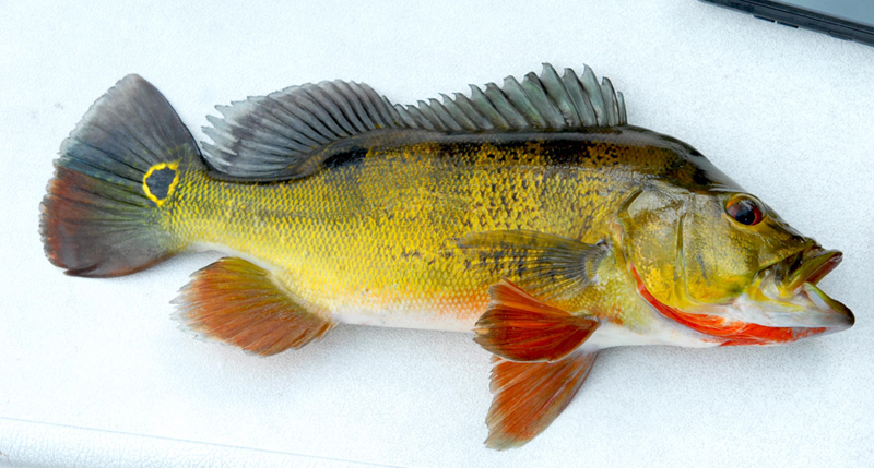 Peacock Bass Digital Reference Photos