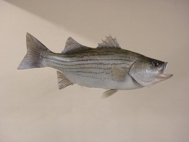 LRC BHB280 1 Hybrid Striped Bass 28 X 195 116LB