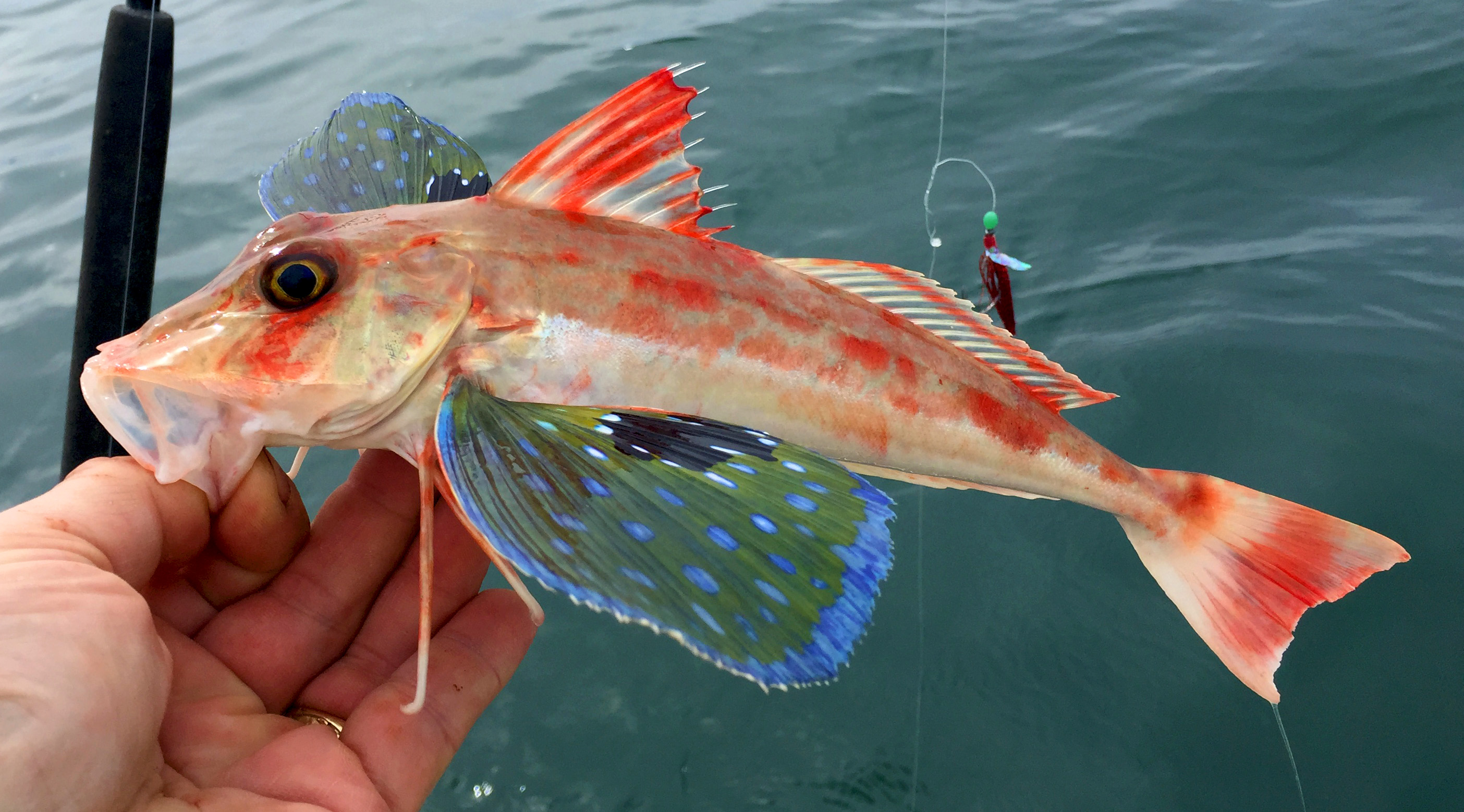 Bluefin Gurnard - Digital Reference Photos Volume 1