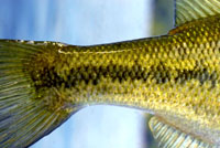 Largemouth Bass Reference Photos