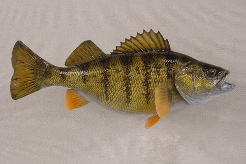 LCR-PER13.3-1 Perch 13.25x 10- 1.5 LB-Ready to Paint