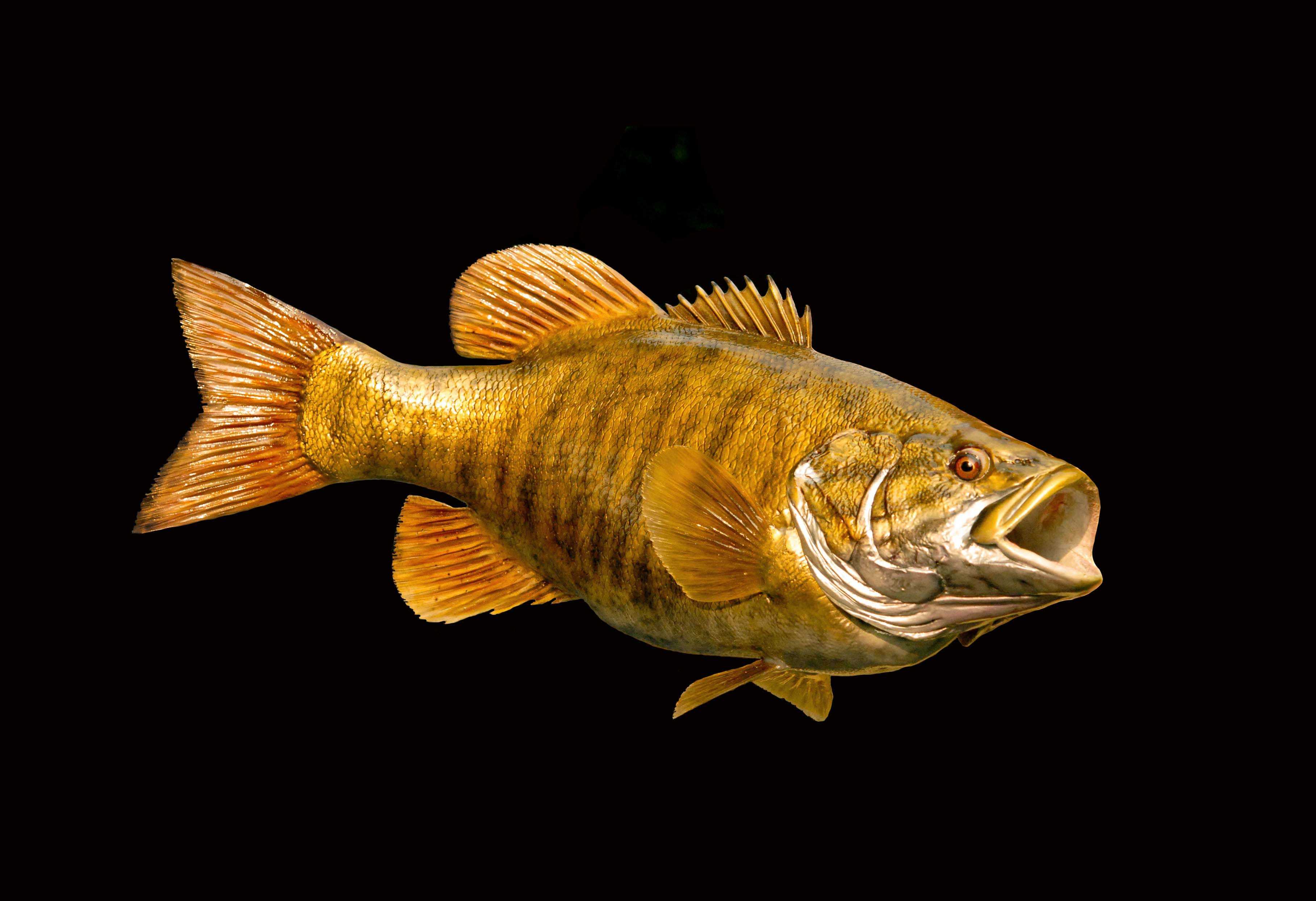 LCR BSM2152 Smallmouth Bass 215 X 17 75LB Ready To Paint