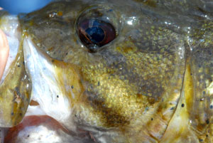 Smallmouth Bass Reference Photos