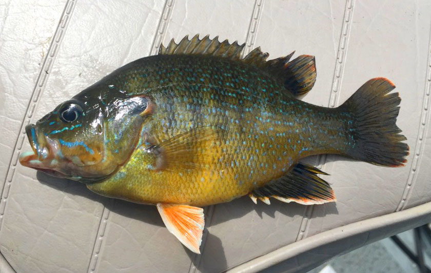 Green Sunfish - Printed Reference Photos