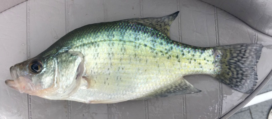 White Crappie - Digital Reference Photos