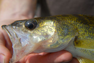 Walleye Reference Photos