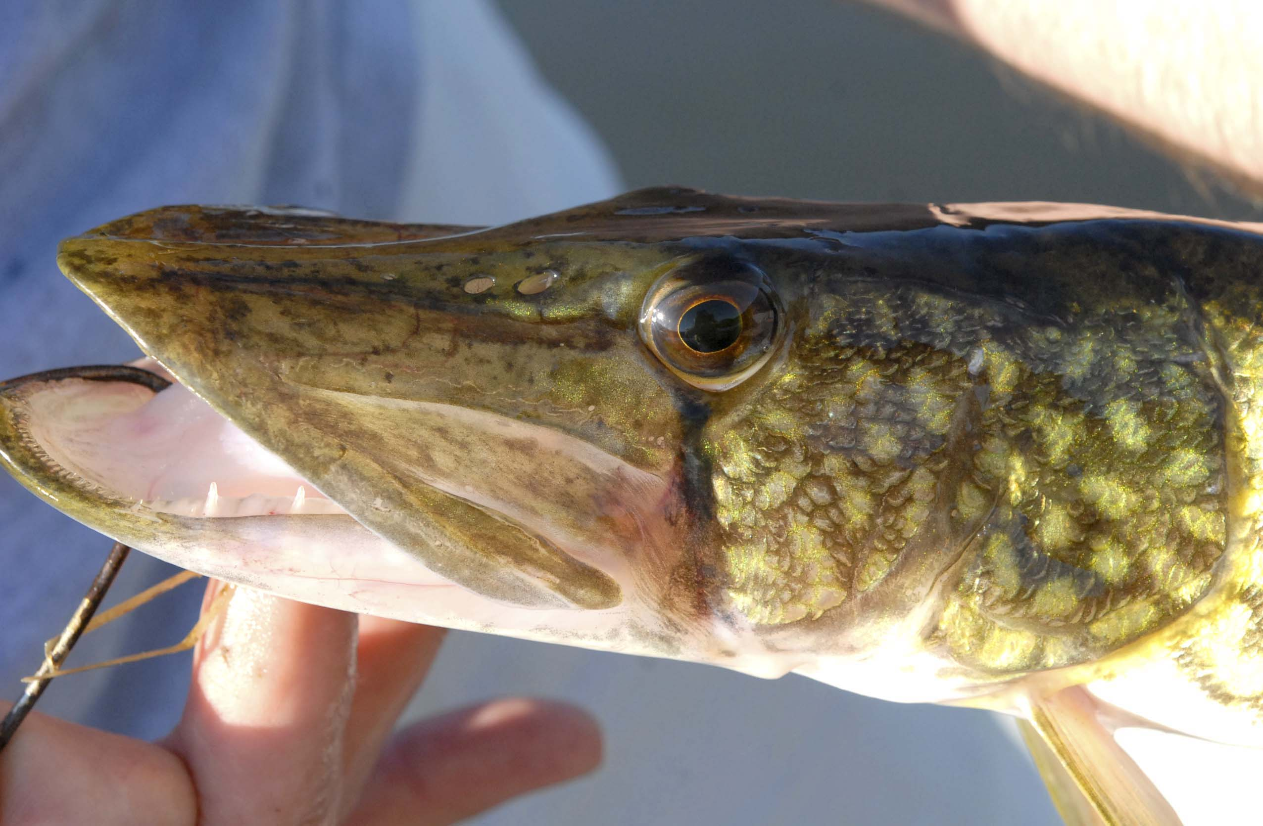 Chain Pickerel - Printed Reference Photos Volume 1