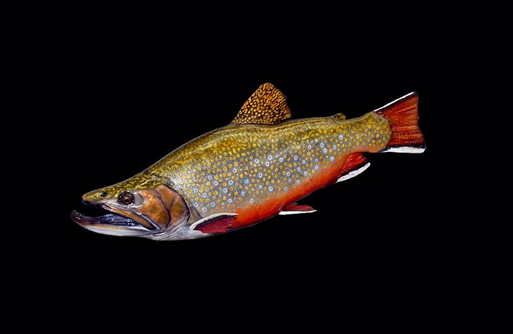 MAINE BROOK TROUT PAINTING