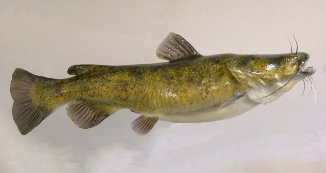 Flathead Catfish Anglers Artistry The Art Of Taxidermy With Rick