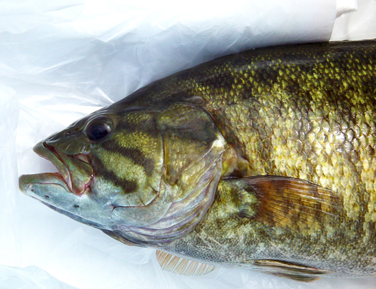 Smallmouth Bass - Digital Reference Photos Volume 1