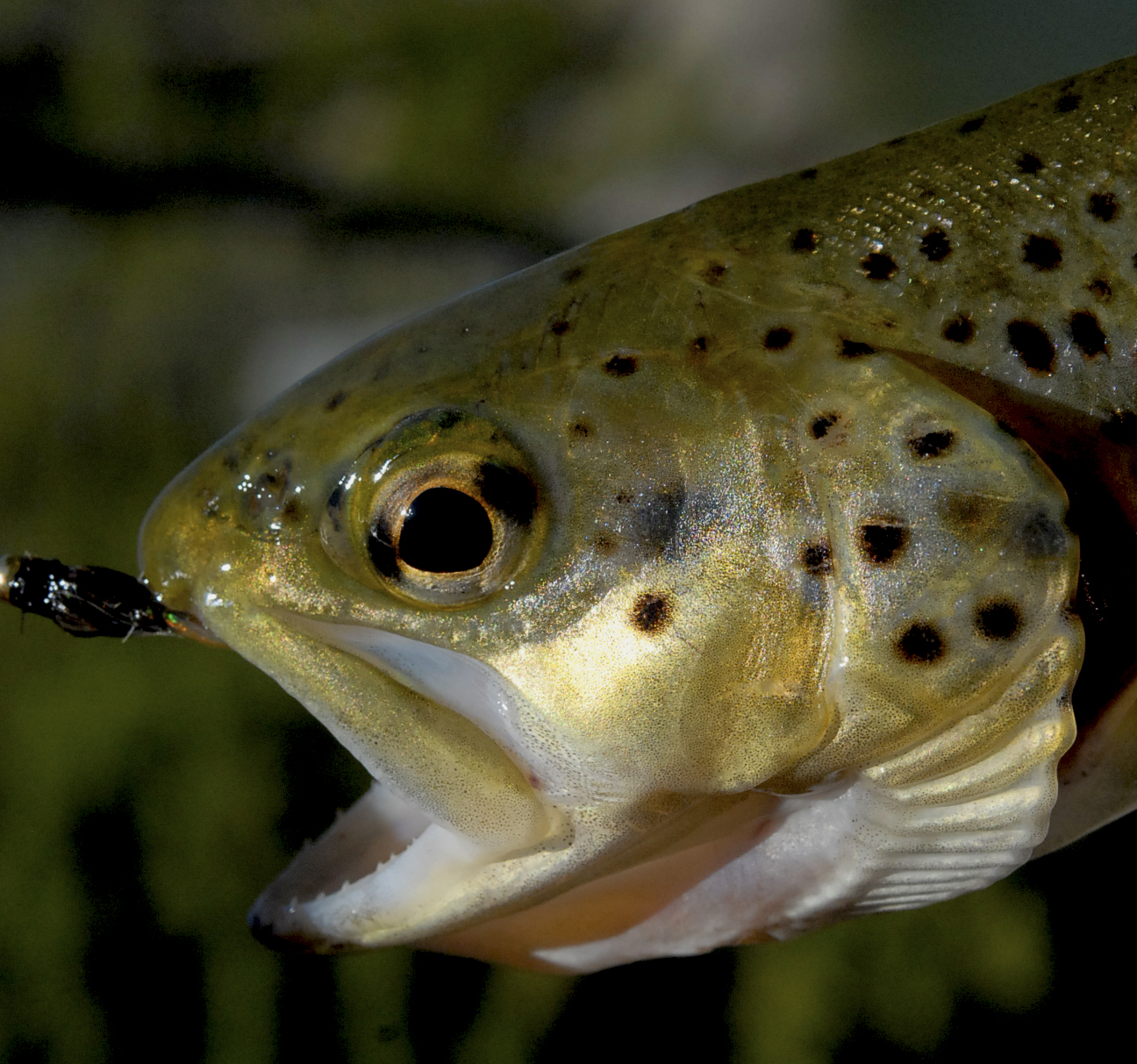 Brown Trout Reference Photos
