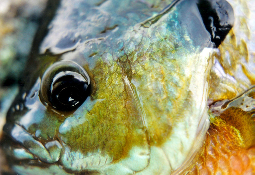 Blue Gill - Digital Reference Photos Volume 1