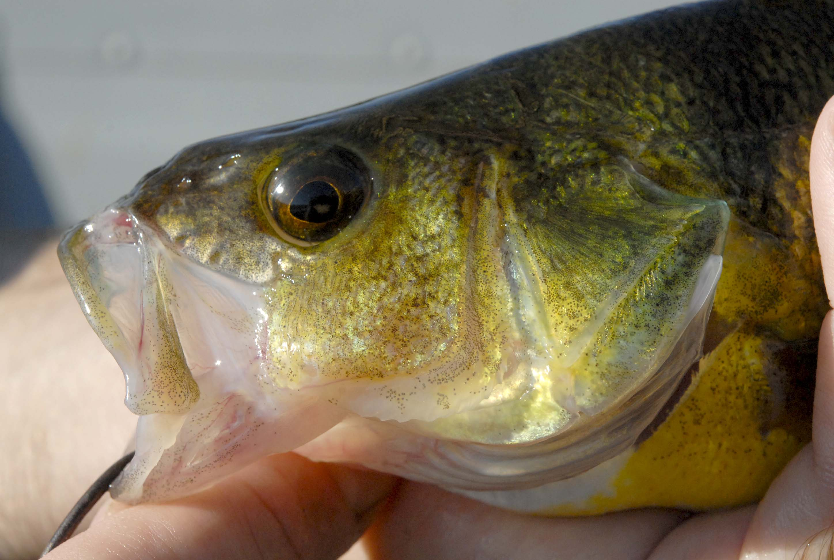 Yellow Perch - Digital Reference Photos Volume 1