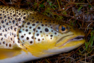 Brown Trout - Digital Reference Photos Volume 1
