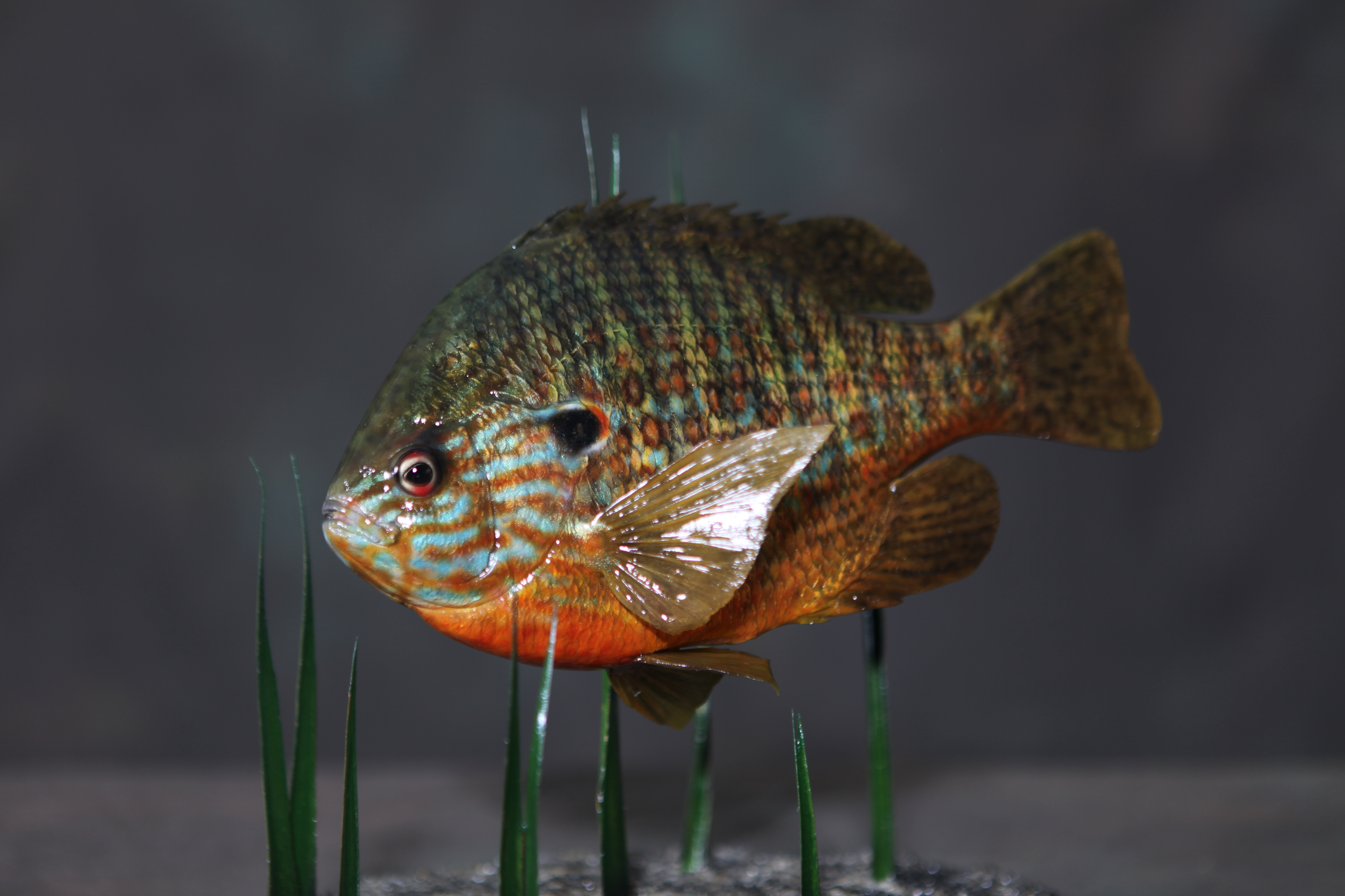 Randy Budzynski Pumpkinseed