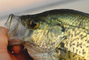 Black Crappie - Digital Reference Photos Volume 1